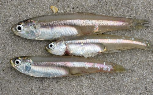 White Bait/Anchovies (Big Nethili)